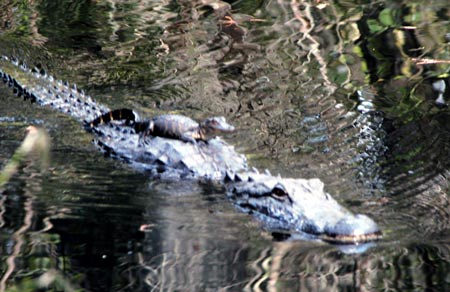 alligator-with-baby-on-back